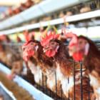 本当にエシカルな鶏肉を選べる、フランス大手スーパーのブロックチェーン活用法
