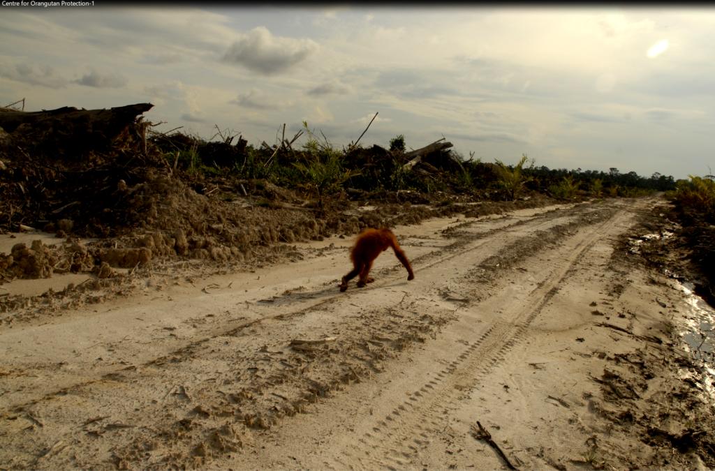 via Centre for Orangutan Protection