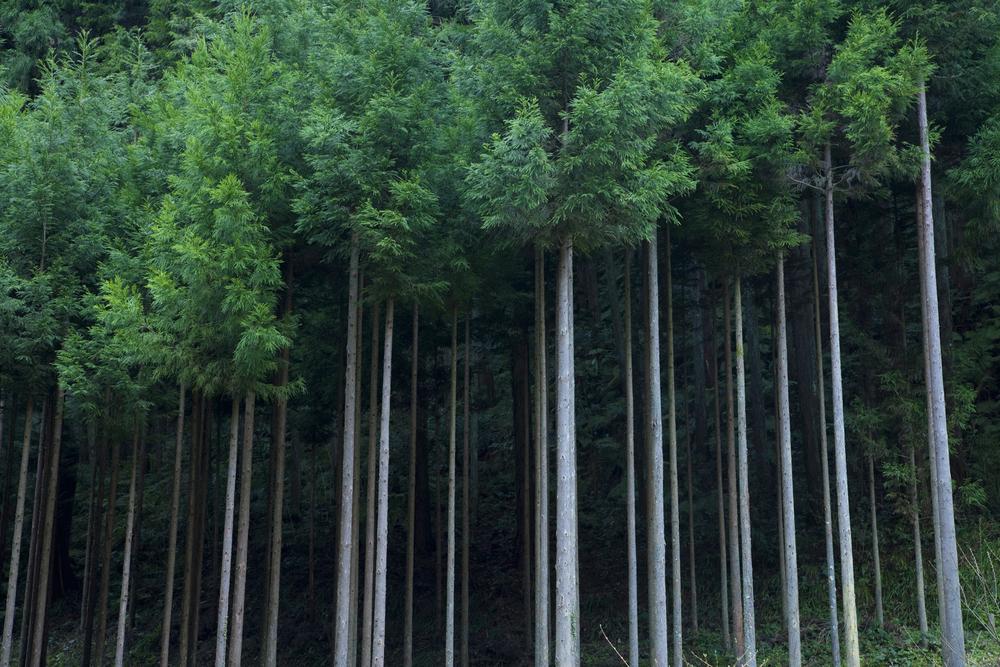 日本の人工林の画像