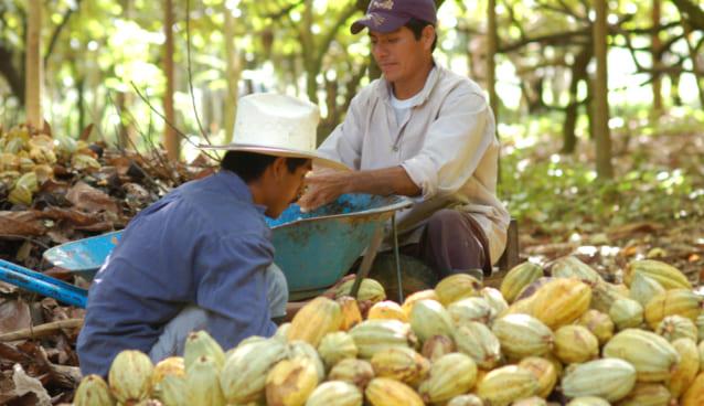 cacao-farm
