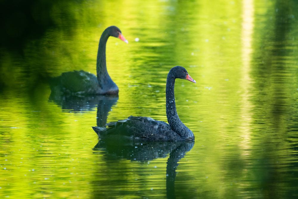 green-swan