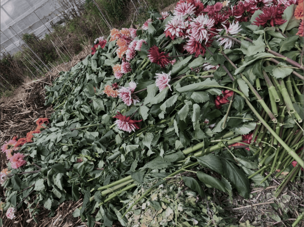 ダリア農家でのダリア廃棄の様子