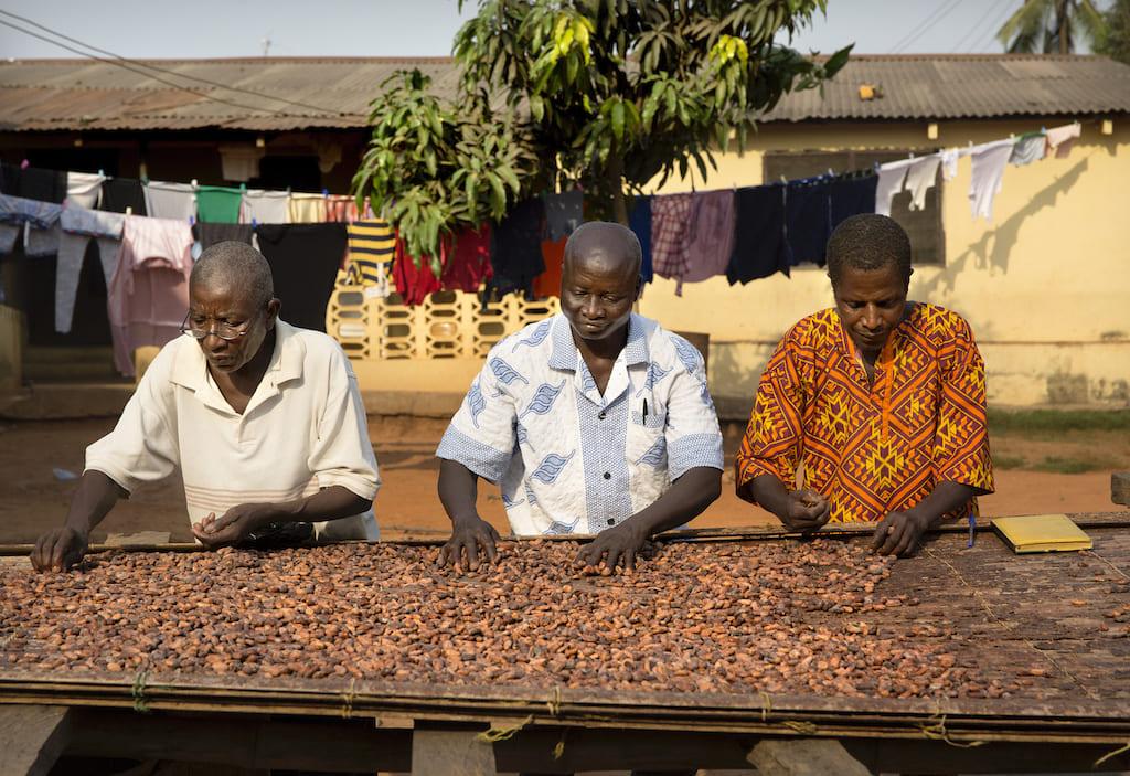 ガーナでのカカオ前生産の様子