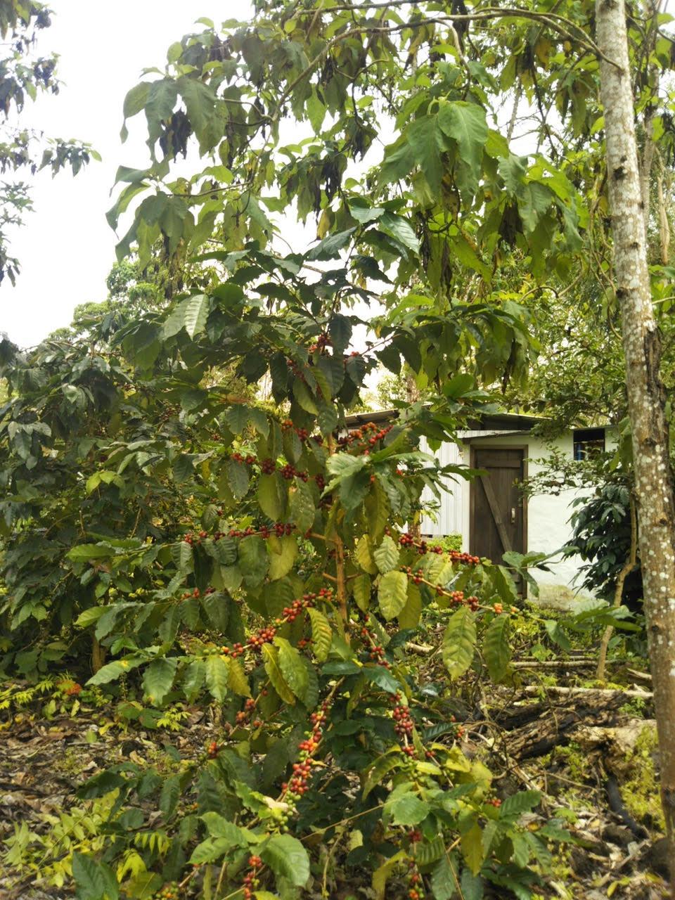 スカレシアの木
