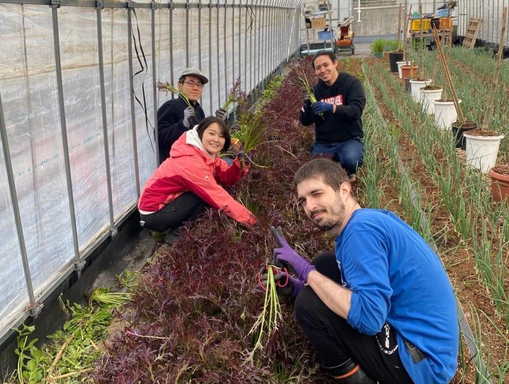 野菜収穫の様子