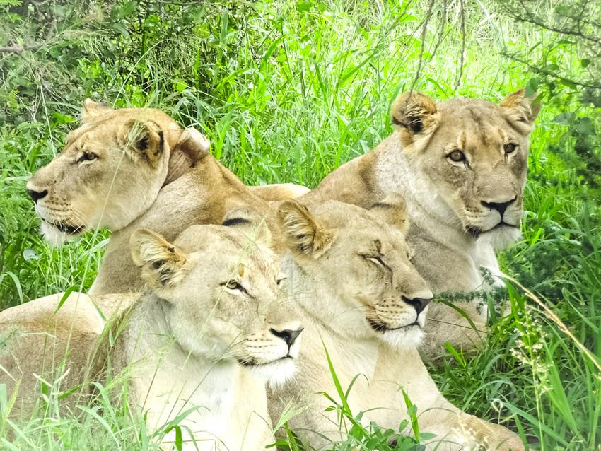 南アフリカのライオンたち