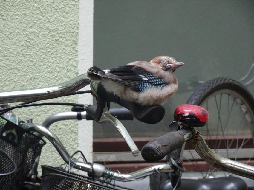 自転車に止まる鳥